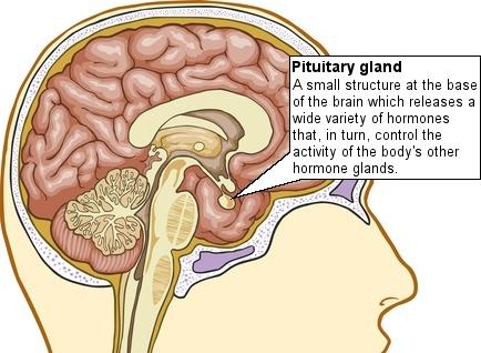 pituitarygland434